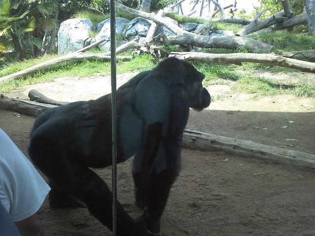 Gorilla Buns
