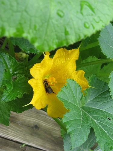 bee on squash blossom