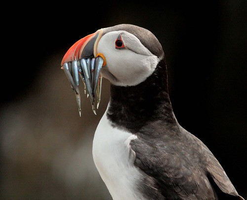 無料写真素材, 動物 , 鳥類, ツノメドリ