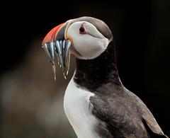 [フリー画像素材] 動物 2, 鳥類, ツノメドリ ID:201207210400