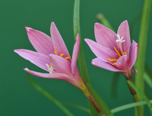 Zephyranthes grandiflora 8489