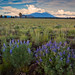 Prairie Lupine by Jake_Case