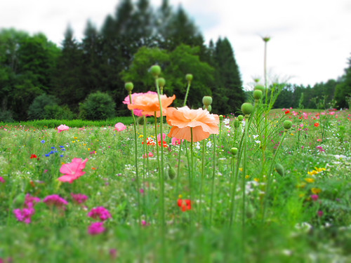 Kripalu Poppy Field_1