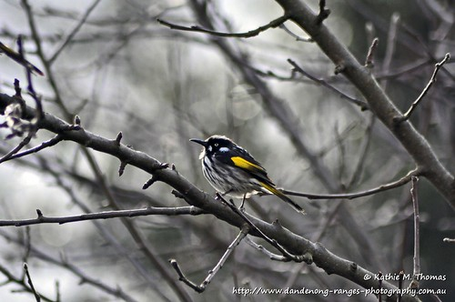 200-366 New Holland Honeyeater