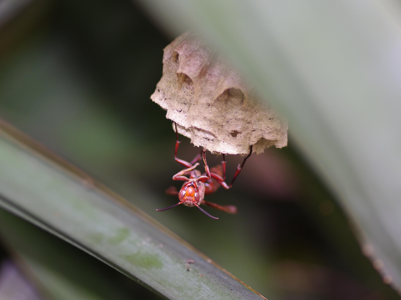 圖三:褐長腳蜂與巢。