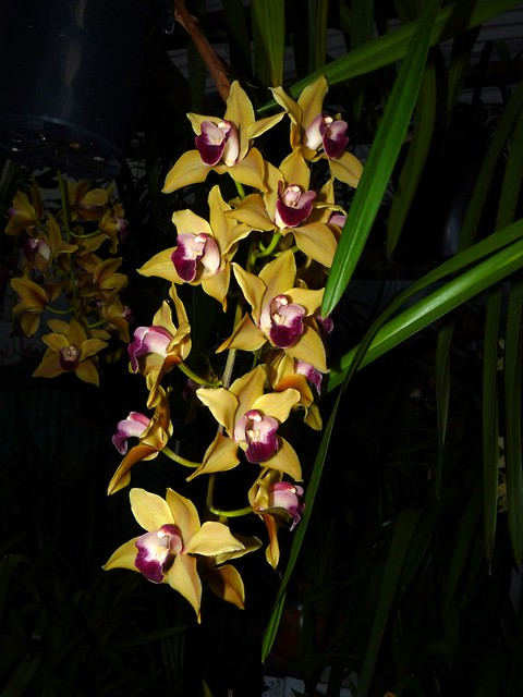 Cymbidium Memoria Amelia Earhart orchid hybrid