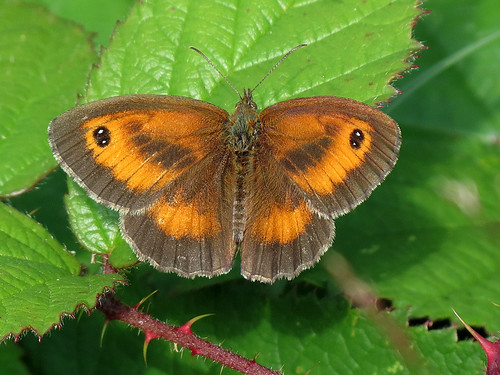Gatekeeper - Pyronia tithonus