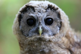 Spotted Owl #14 | by Aaron Maizlish