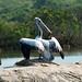 Spot-billed Pelican, Yala National Park (David Allison)