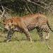 Male Leopard (Rob North)
