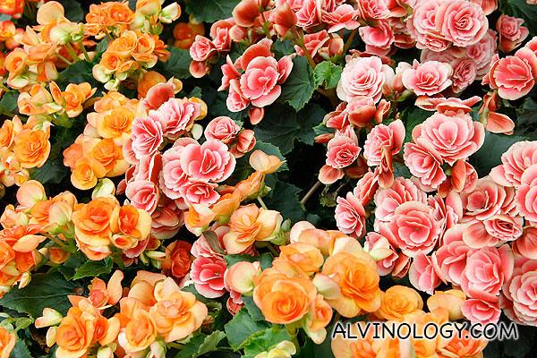 Assorted wild roses