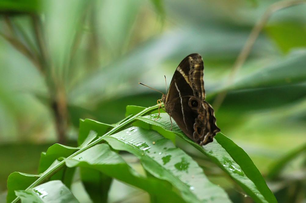 05-白條蔭蝶