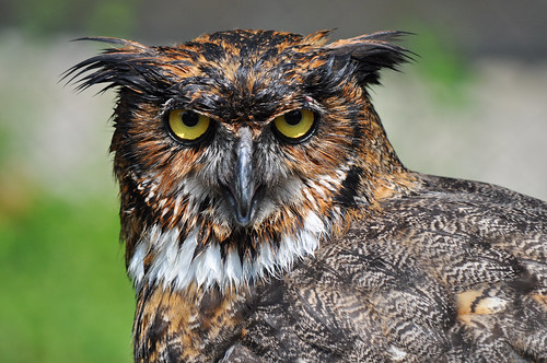 One wet owl.