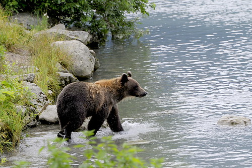 Brown Bear by RV Bob