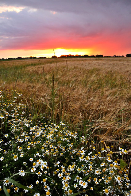 flowers under the sunset through the storm, over farmland and countryside in essex.