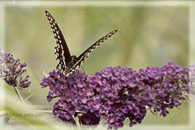 Butterfly Summer VII
