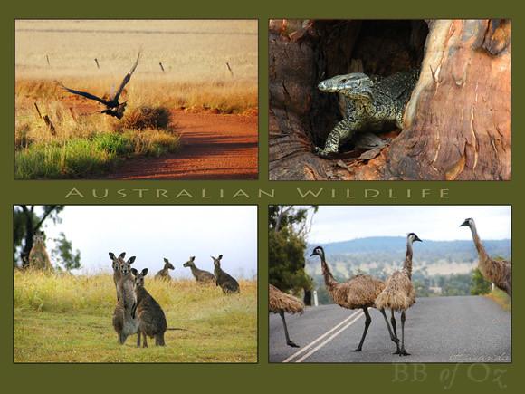 IBA aussie wildlife_PRINT E