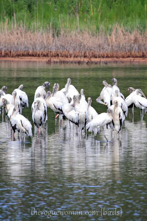 072312_03_bird_woodStork01