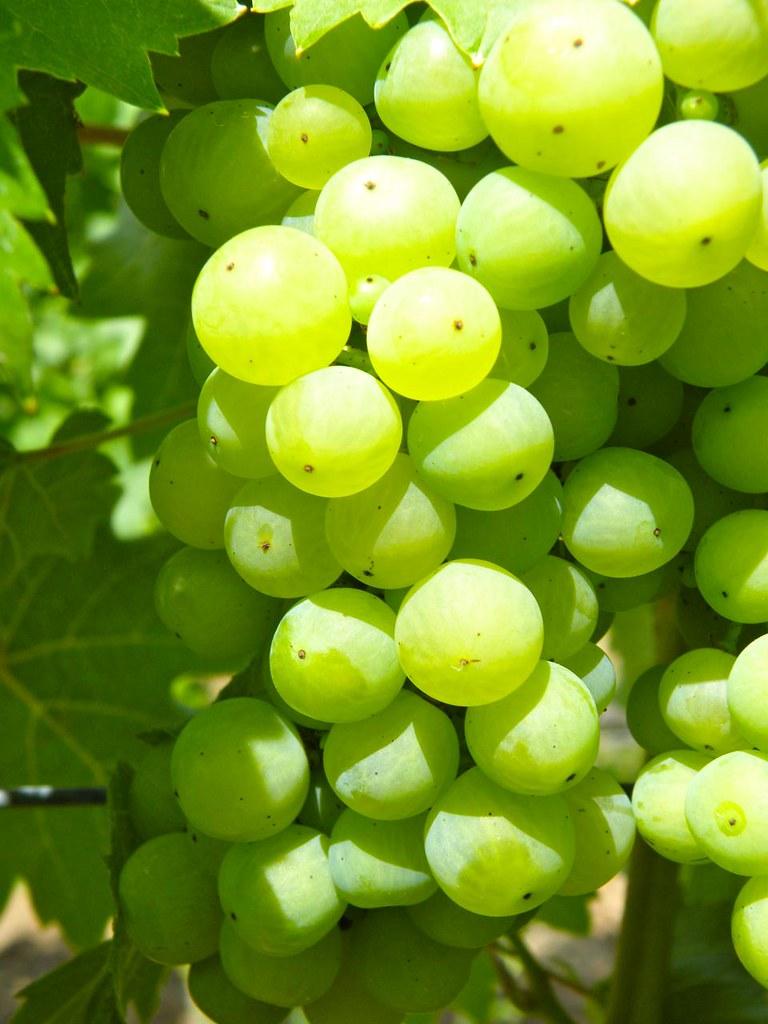 Trauben aus dem Weingut Barockschloss