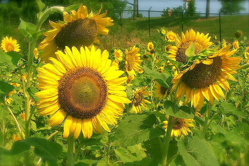 ~SUNFLOWER BLESSINGS~