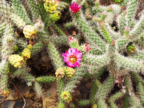 Flowering Cactus  in Jardín Botánico Canario Viera y Clavijo, Gran Canaria