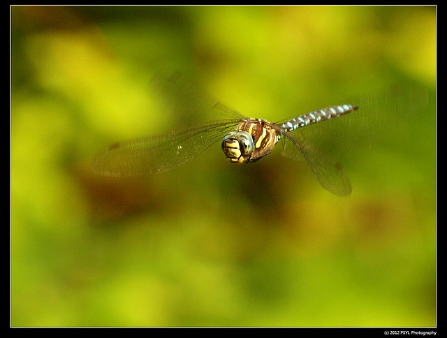 Unknown Darner in flight (Aeshna sp. - Family Aeshnidae)