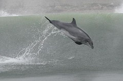 Bottlenose dolphin - Whale and dolphin watching in Peru with Nature Expeditions 25