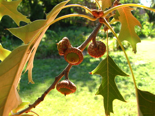 Southern Pin Oak acorns