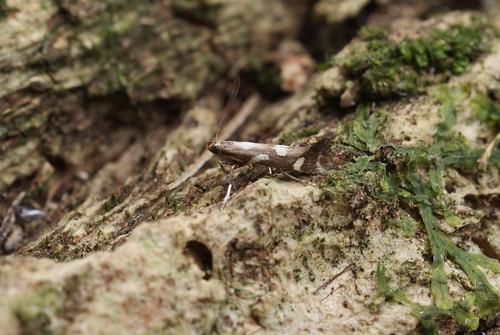 Calybites phasianipennella f. quadruplella