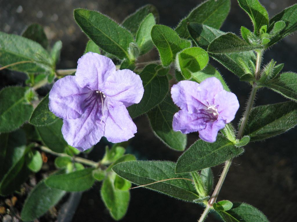 Ruellia humilis