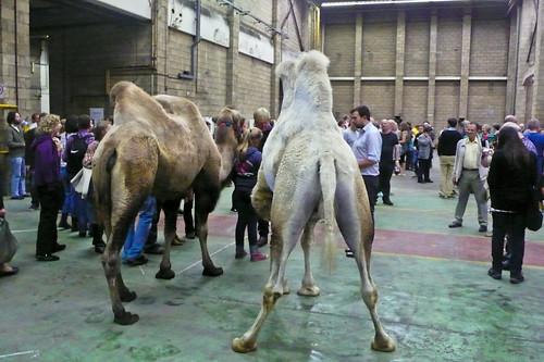 Mittwoch Aus Licht- Camels