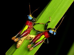 Orthoptera of Ecuador, old