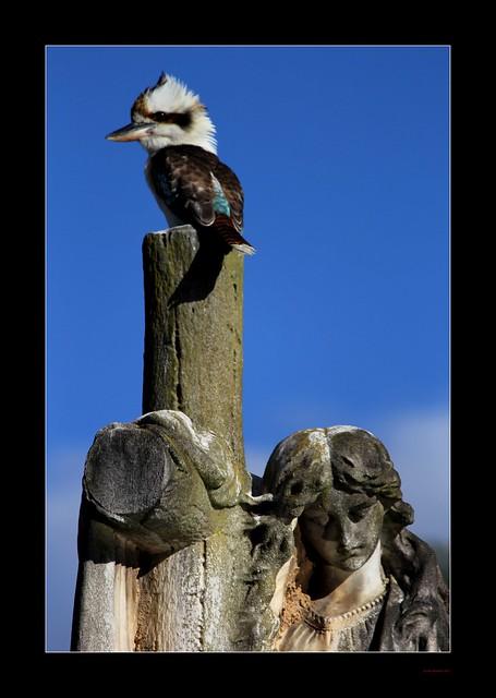 Rookwood Kookaburra