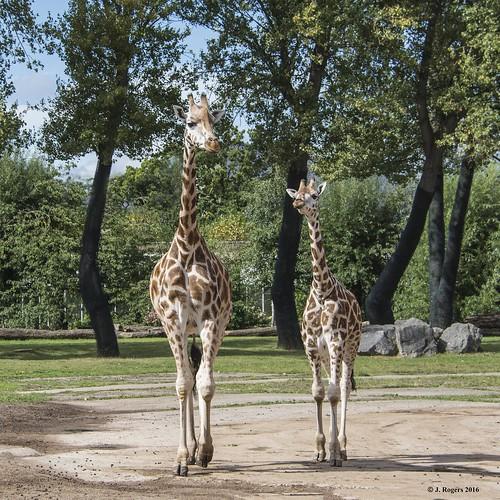 Rothschild's Giraffe and calf.