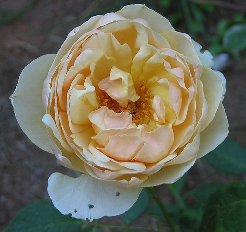 "Crushed in Body but not Spirit: David Austin English Rose ""Jude The Obscure."" by Leenechan"