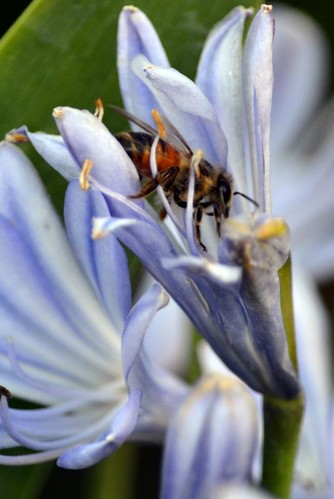 Bee in African Lily