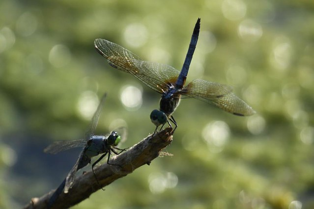 Common Pondhawk and Blue Dasher