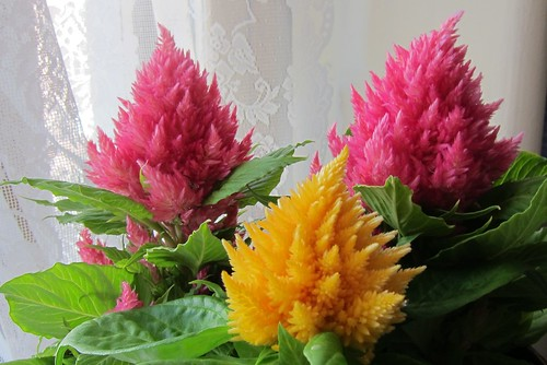Celosia by Anna Amnell