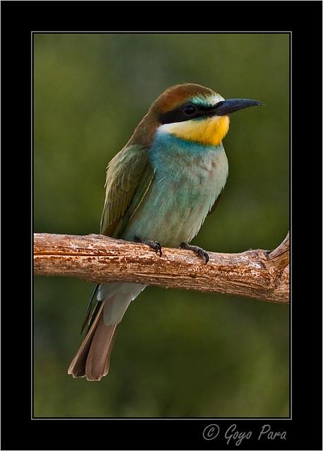 Merops apiaster - Abejaruco