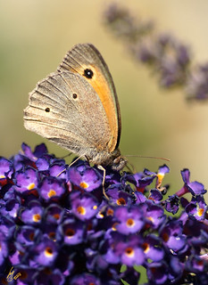 Meadow Brown/Kuhauge at the buddlea