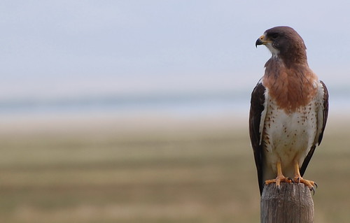 npnht-red-rock-lakes-nwr-hawk-07112012-rogermpeterson-009