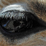 Close-up of a Reticulated Giraffe eye (Giraffa camelopardalis reticulata)