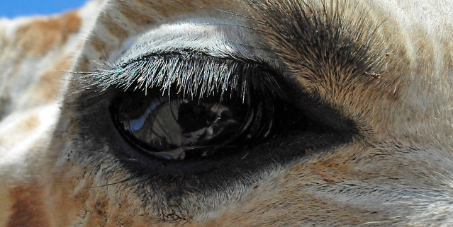 Close-up of a Reticulated Giraffe eye (Giraffa cameloparda ...
