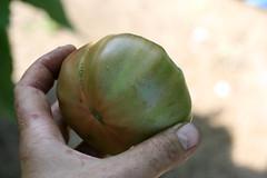 7-28 harvest 098