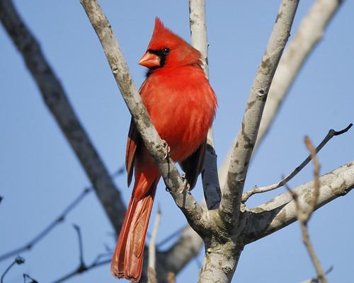 Mystery Bird Northern Cardinal Cardinalis Cardinalis