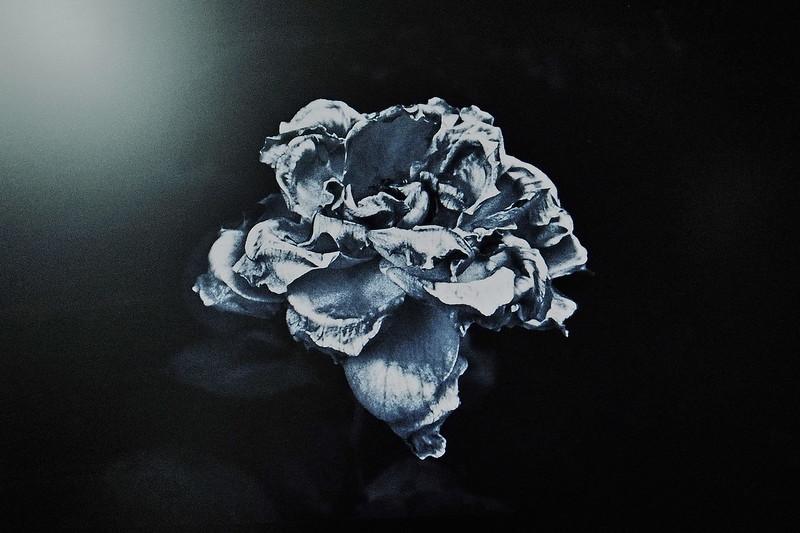 Rosa Metalica in Blue
