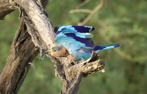 Flurry of colors ....Indian roller