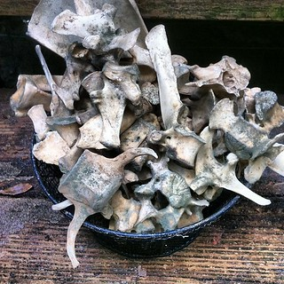 The Hazards Of Bone Processing In The Humid South: Moldy Bones - These Deer & Wild Boar Bones Were Already Cleaned & Stored On My Porch - All The Rain Lately Made Them Mold