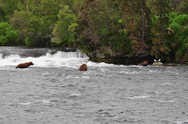 Three brown bears ... [Katmai National Park]