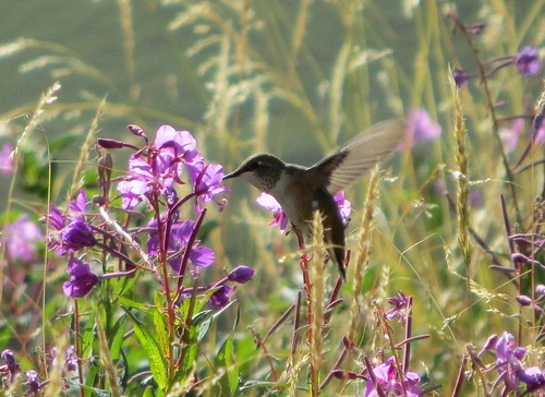 hummingbird fireweed flyingbird 20120804zirkelinspection